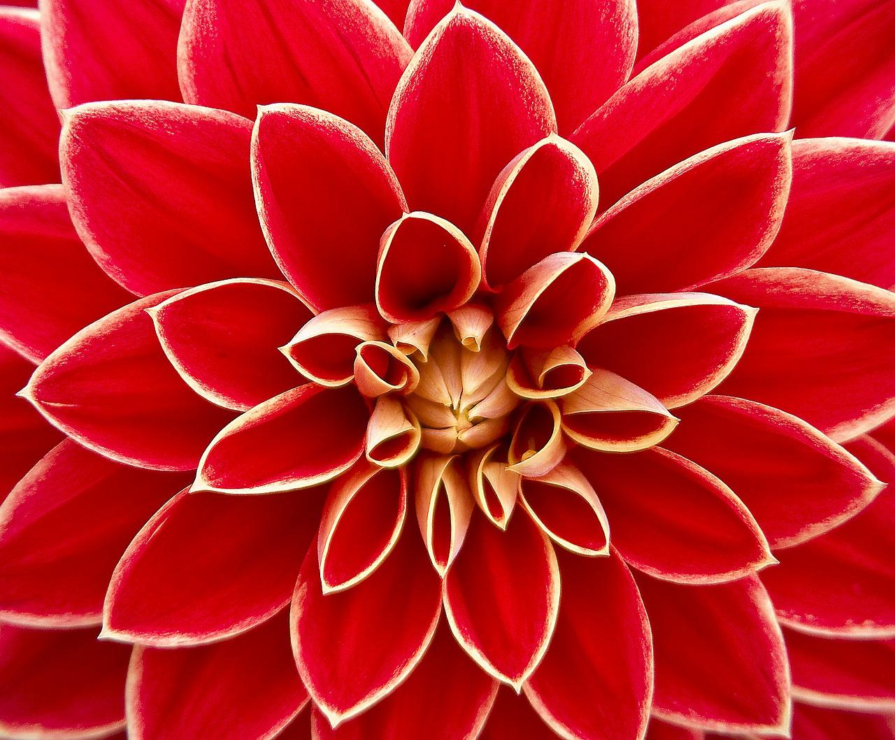 dahlia-flower-beauty